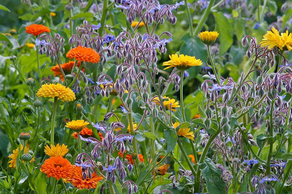 Foto: Borretsch mit Ringelblumen