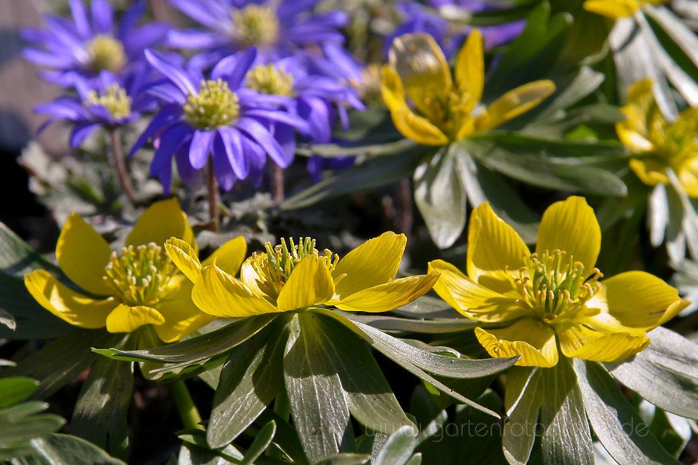 Gelbe Blüten des Winterlings (Eranthis hyemalis)