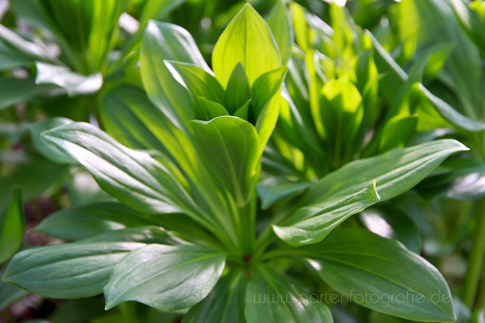 Foto: Kaiserkrone (Fritillaria imperialis)