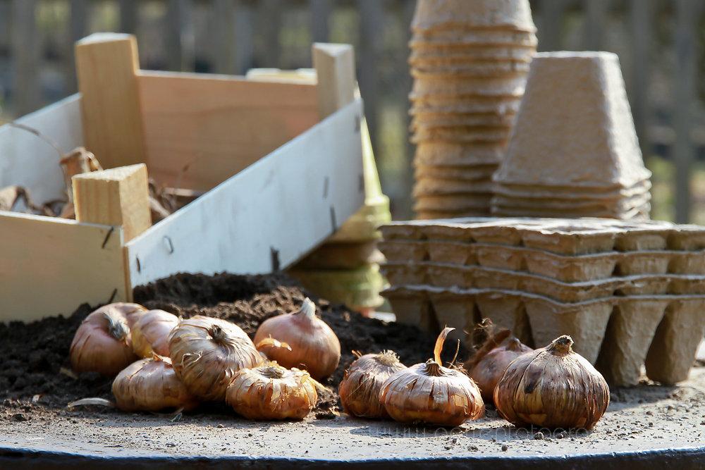 Foto: Gärtner-Arbeitsplatz mit Gladiolen