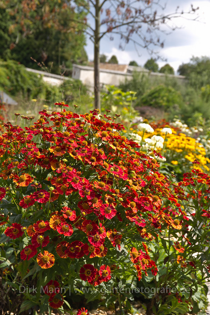 Rote Sonnenbraut (Helenium) im Staudenbeet