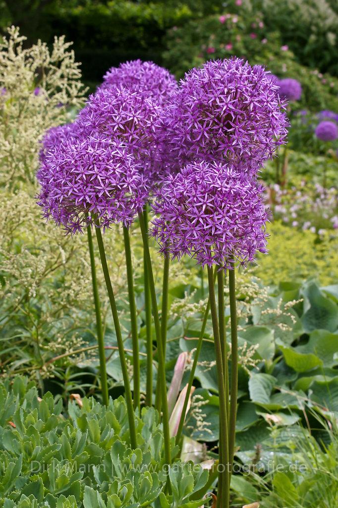 Foto: Riesen-Lauch (Allium 'Globemaster')