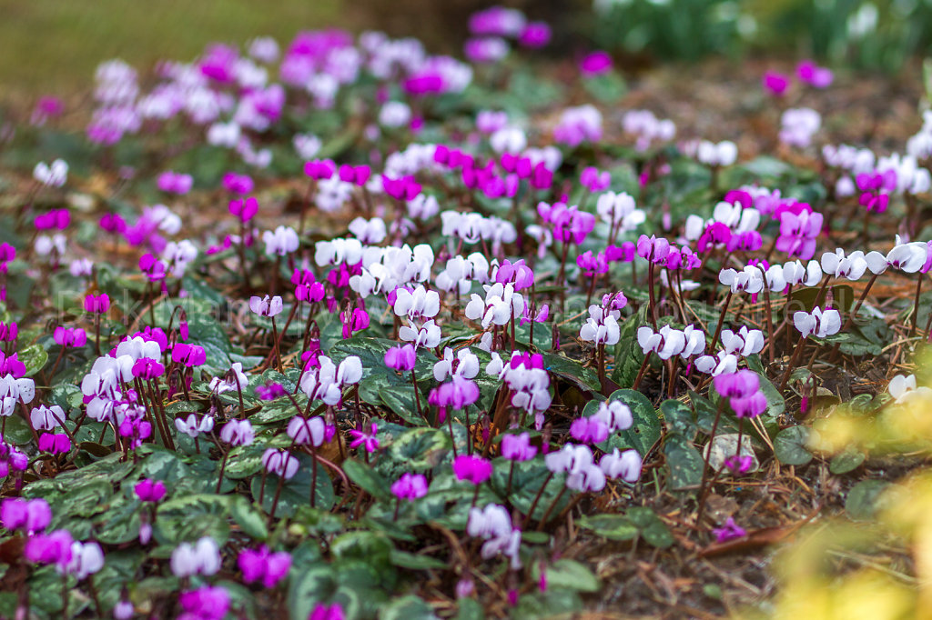 Foto: Vorfrühlings-Alpenveilchen (Cyclamen coum)