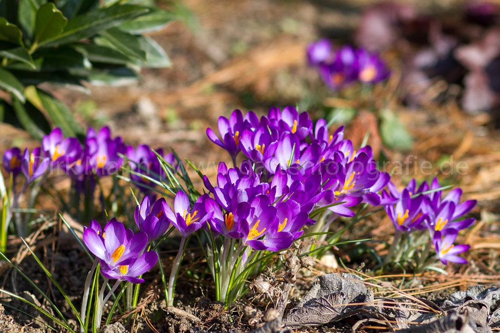 Crocus in der Frühlingssonne