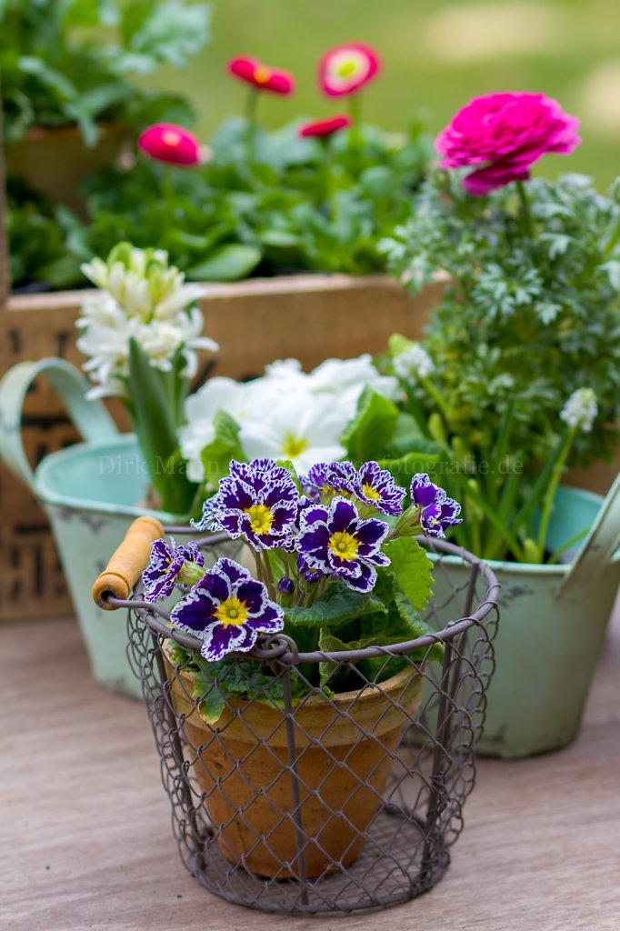 Primula-vulgaris-HF126887.jpg