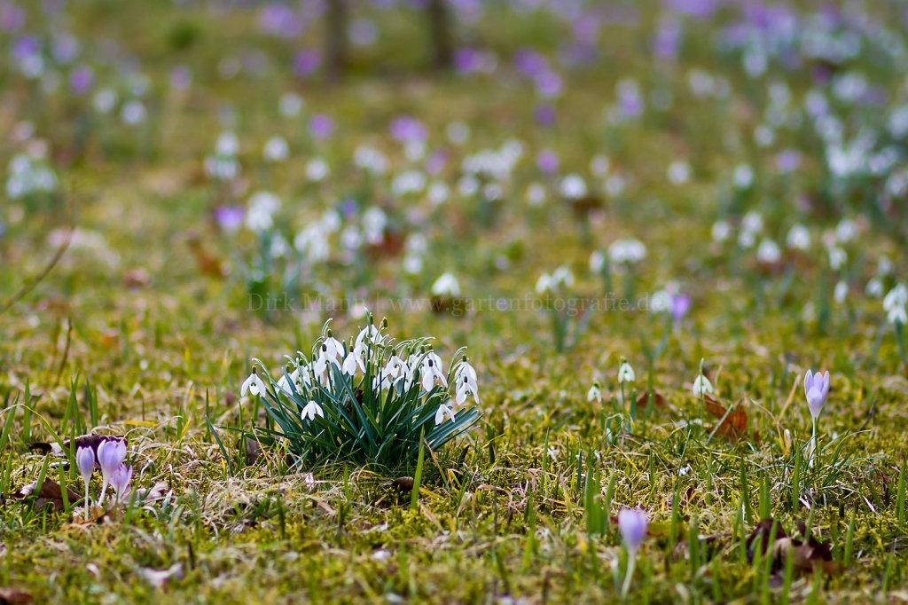 Foto: Blühende Schneeglöcken auf der Frühlingswiese