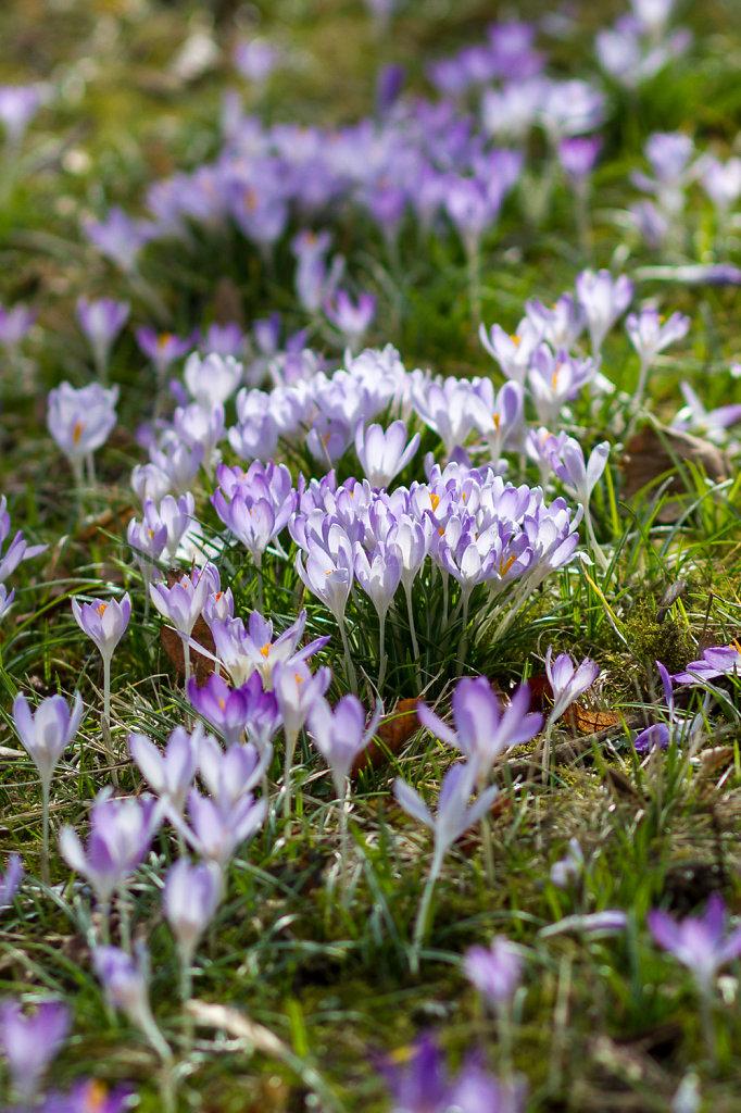 Foto: Krokus in voller Blüte