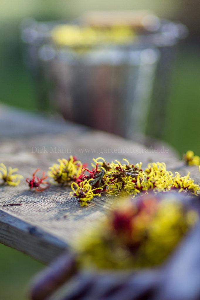 Foto: Blüten der Zaubernuss