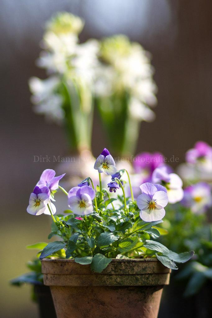 Viola - Veilchen, Stiefmütterchen
