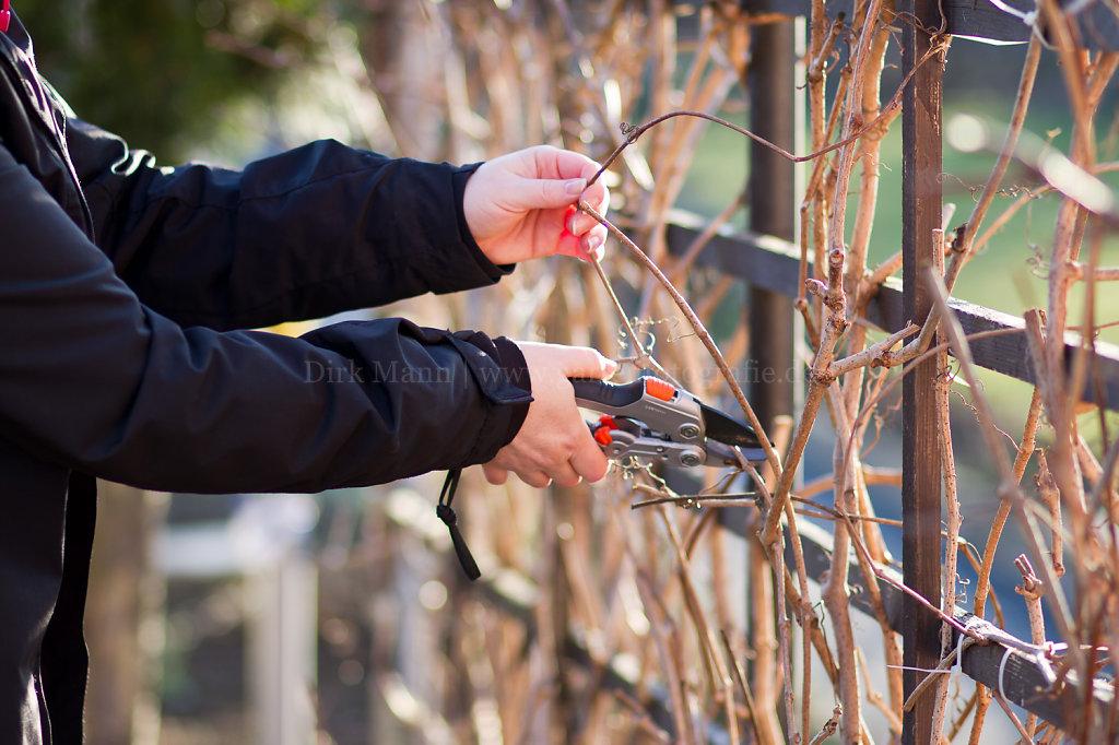 Foto: Schnittmaßnahmen an Kletterpflanzen