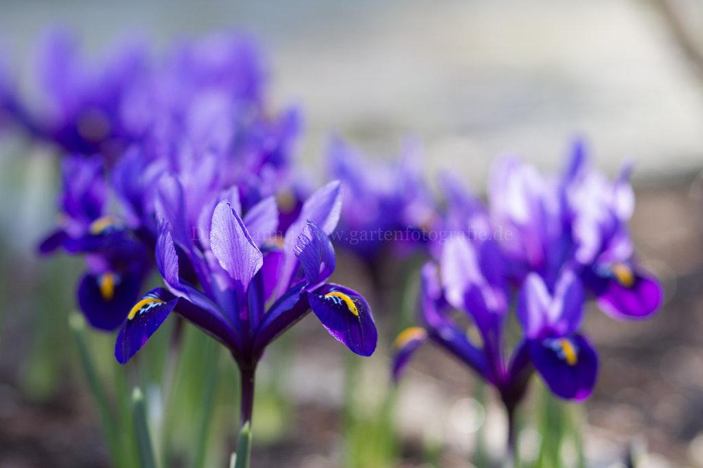 Foto: Netzblatt-Schwertlilie in Blüte