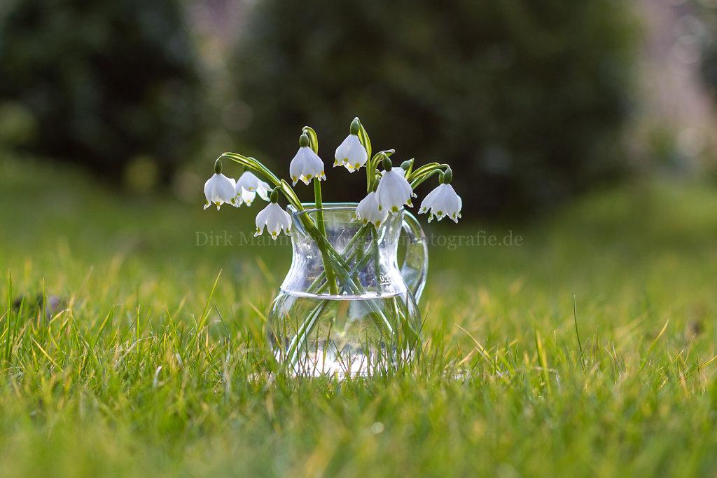 Leucojum - Märzenbecher, Knotenblume