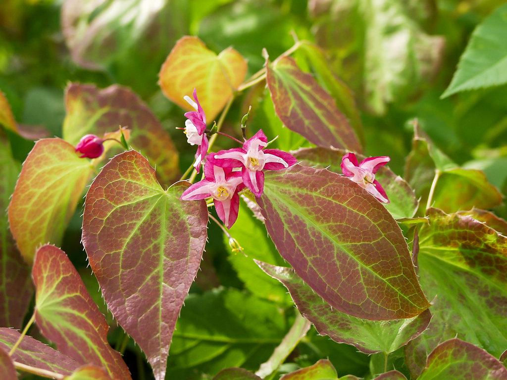 Foto: Epimedium x rubrum (Rote Elfenblume)