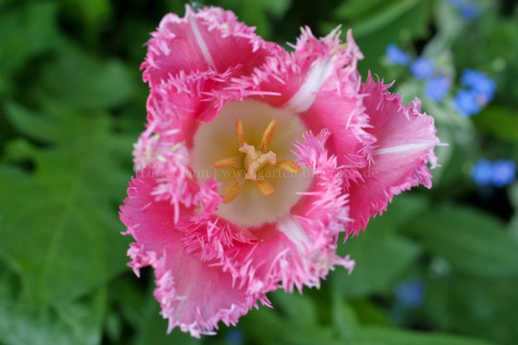 Foto: Nahaufnahme einer gefransten Tulpenblüte