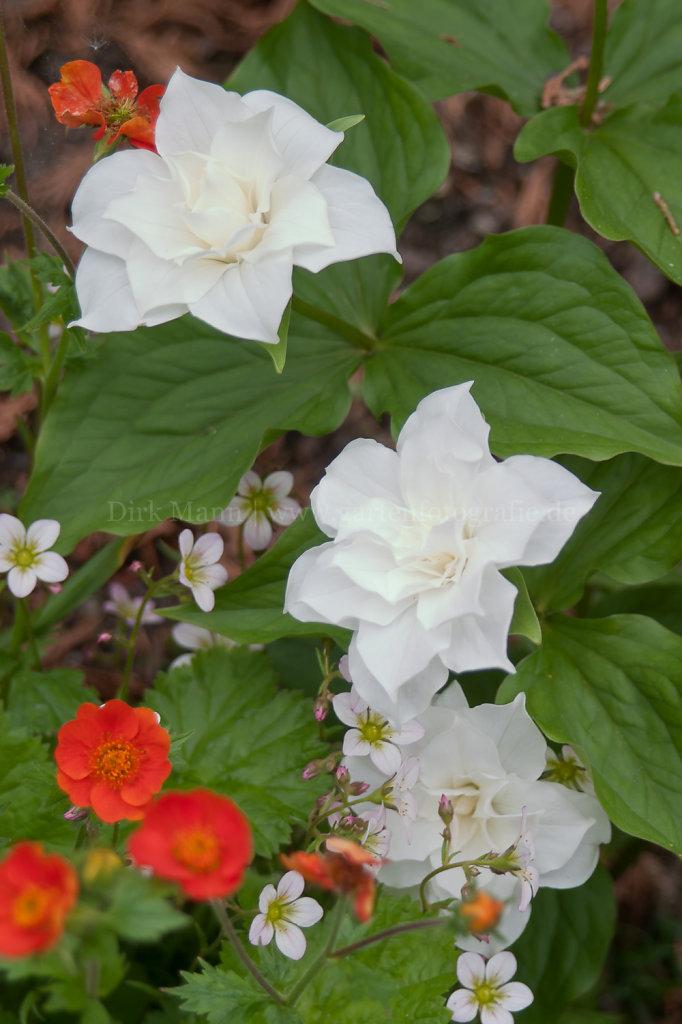 Foto: Trillium grandiflorum 'Snowbunting' (Weiße Waldlilie, Dreiblatt)