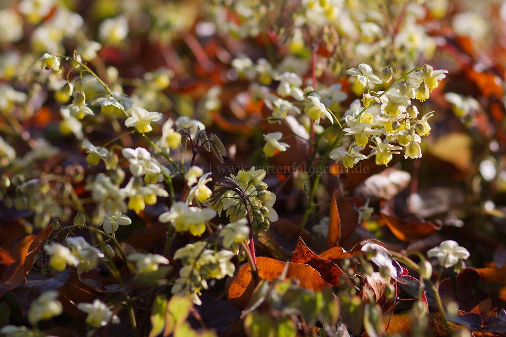 Foto: Epimedium x versicolor 'Sulphureum' (Gelbe Elfenblume)