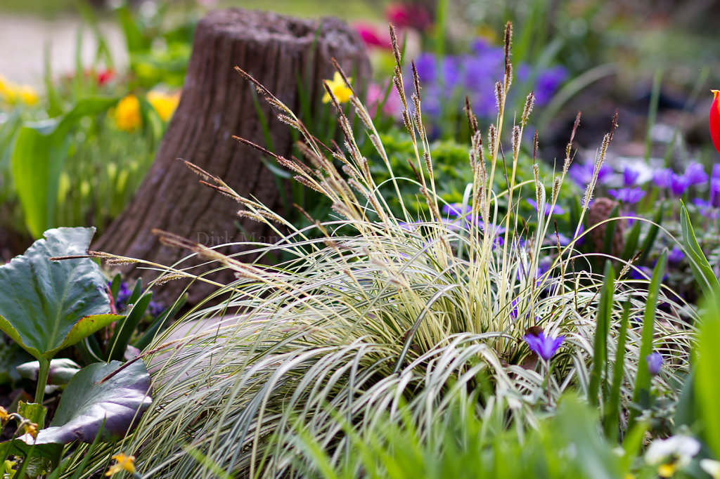 Foto: Carex morrowii 'Variegata' (Weißrand-Japan-Segge)