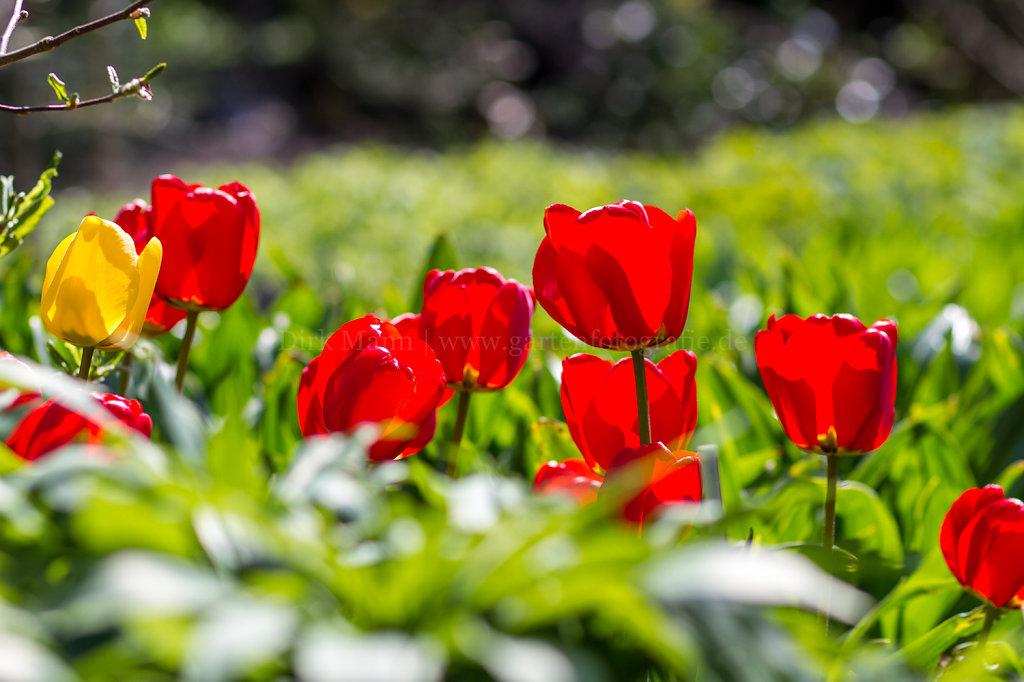 Foto: Rote Tulpen auf dem Sonnendeck