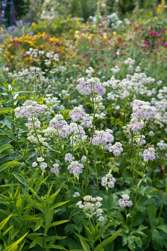 Foto: Astrantia major (Sterndolde)