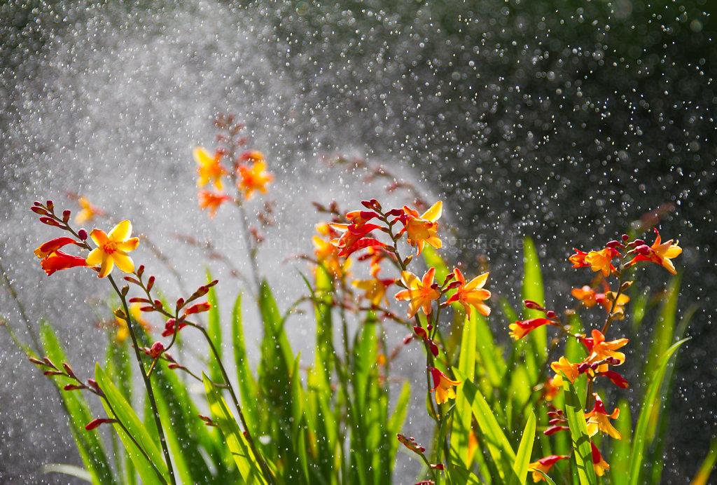 Foto: Montbretien im Wasserwirbel