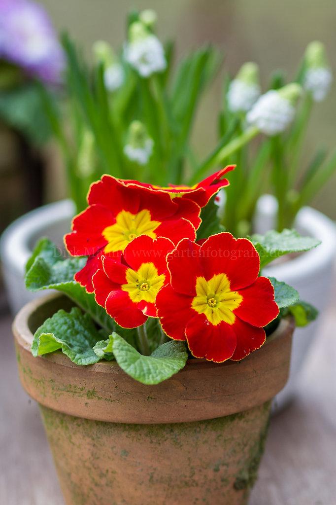 Bild/Foto: Primula vulgaris (Primel)