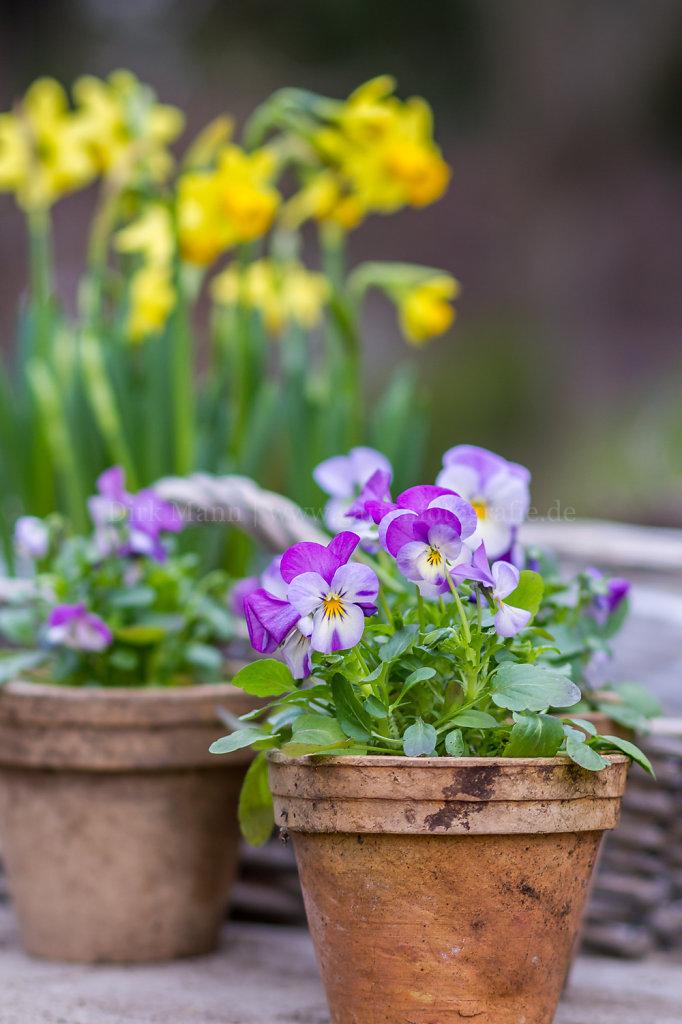 Bild/Foto: Viola cornuta (Hornveilchen)