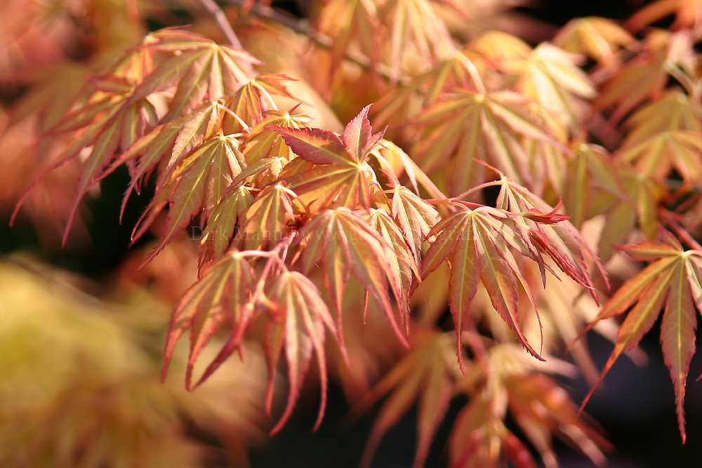 Foto: Fächer-Ahorn (botanisch: Acer palmatum)