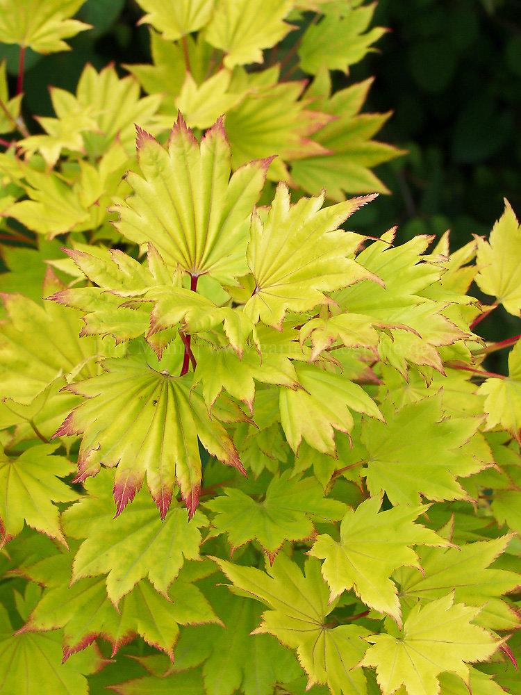 Foto: Japanischer Gold-Ahorn (botanisch: Acer shirasawanum 'Aureum')