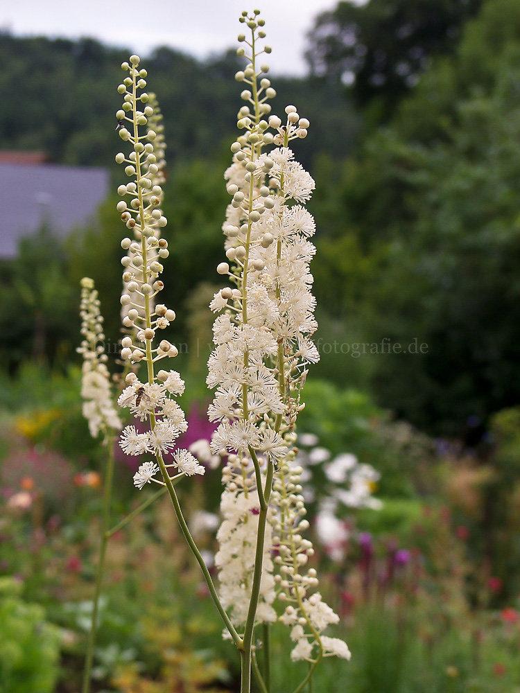 Foto: Silberkerze (botanisch: Actaea japonica)