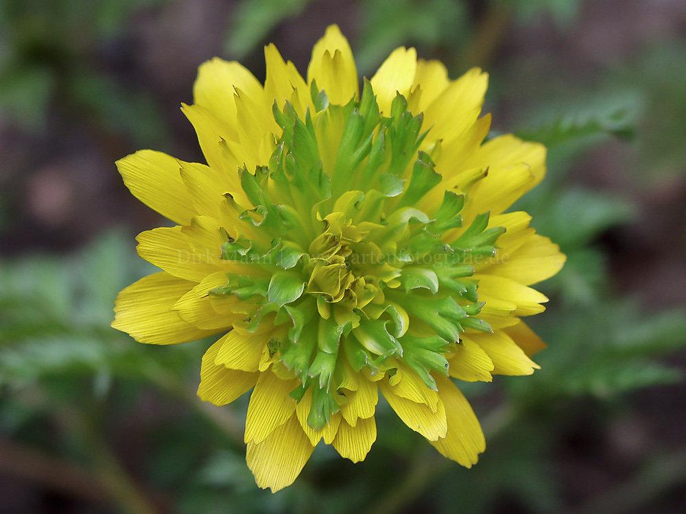 Foto: Amur-Adonisröschen (botanisch: Adonis amurensis 'Sandansaki')