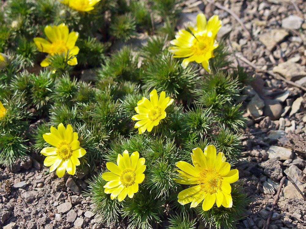 Foto: Frühlings-Adonisröschen (botanisch: Adonis vernalis)