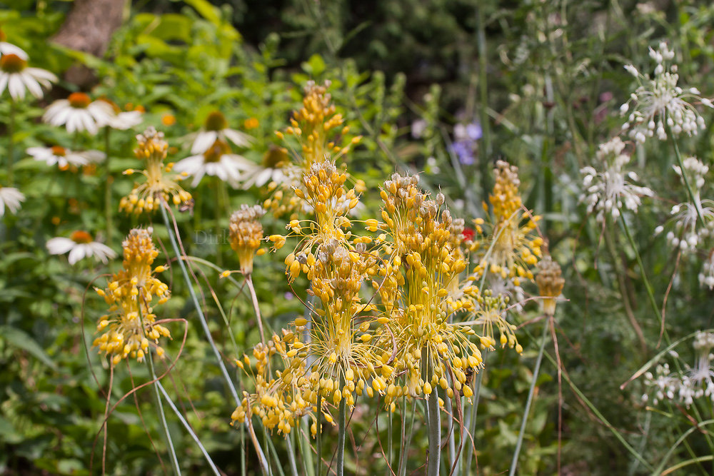 Foto: Gelber Hänge-Lauch (botanisch: Allium flavum)