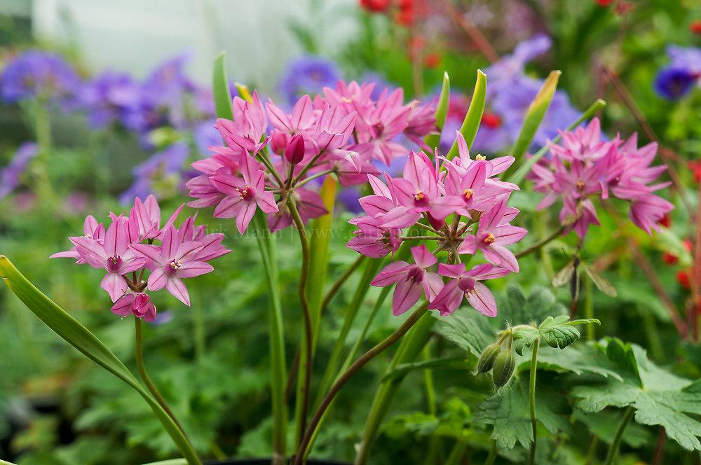 Foto: Turkestan-Berglauch (botanisch: Allium oreophilum)