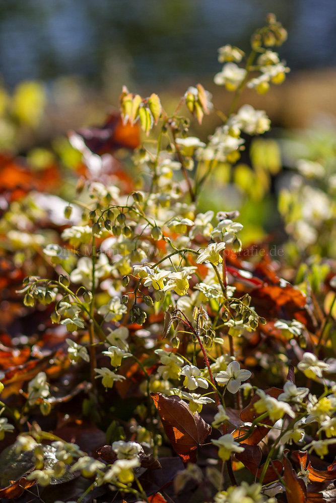 Foto: Schwefelfarbige Elfenblume (botanisch: Epimedium x versicolor 'Sulphureum')