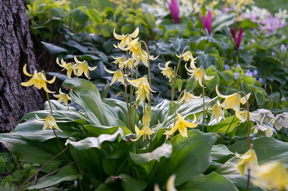Foto: Forellenlilie (botanisch: Erythronium 'Pagoda')