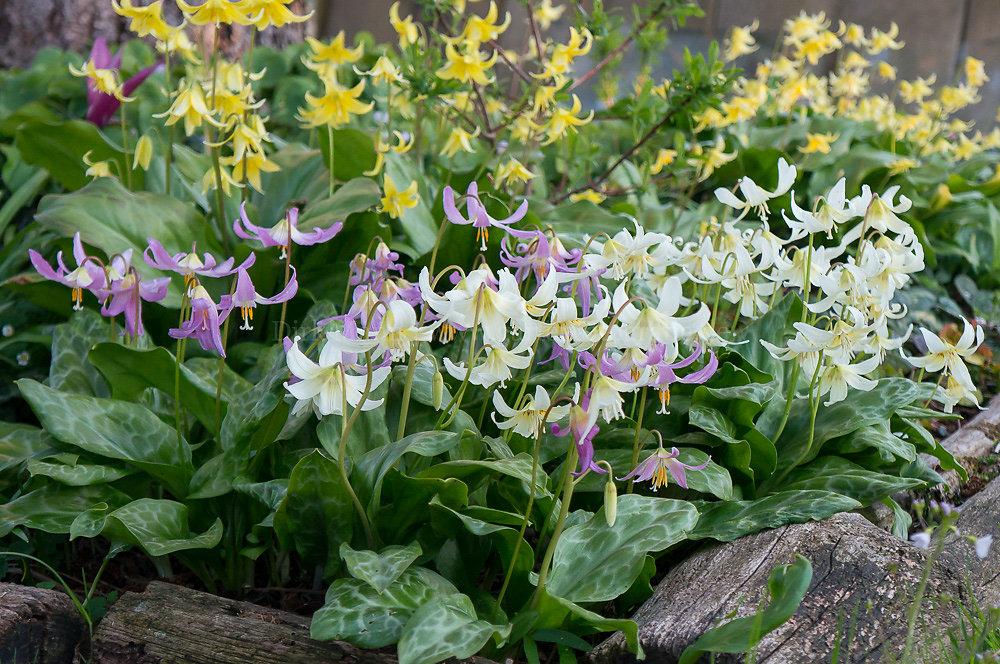 Foto: Hunds-Zahnlilie (botanisch: Erythronium)