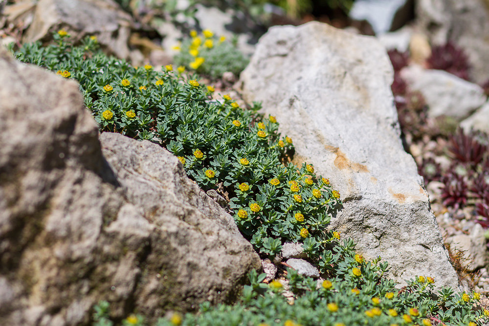 Foto: Rasen-Wolfsmilch (botanisch: Euphorbia capitulata)