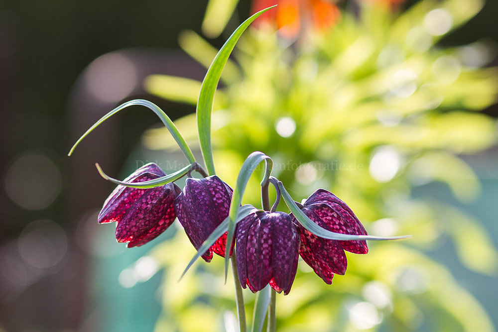Foto: Schachbrettblume (botanisch: Fritillaria meleagris)