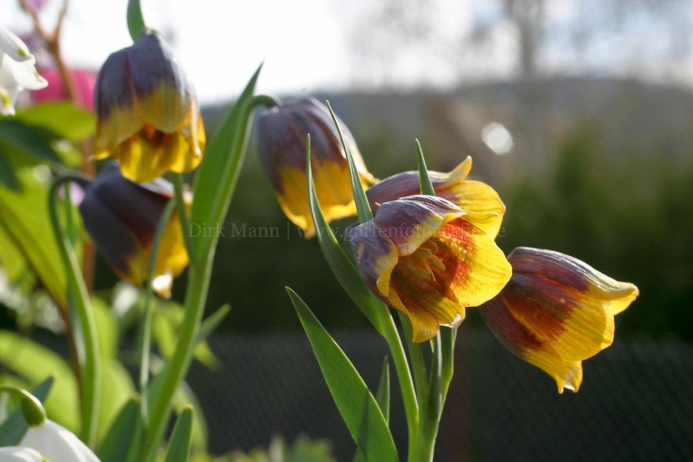Foto: Michailowsky-Kiebitzei (botanisch: Fritillaria michailowskyi)