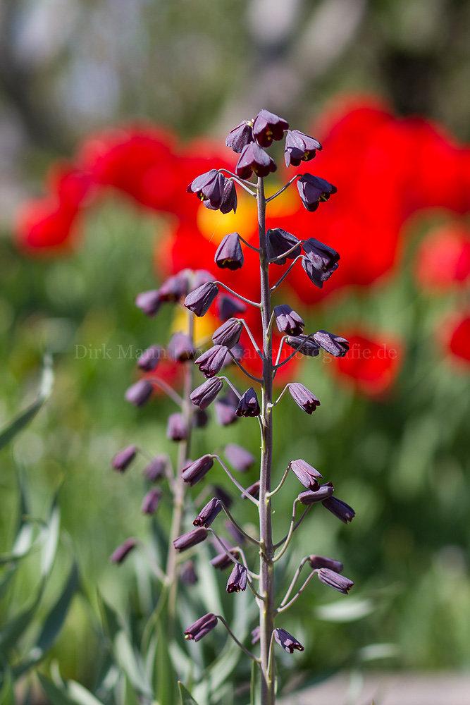 Foto: Persische Kaiserkrone (botanisch: Fritillaria persica)