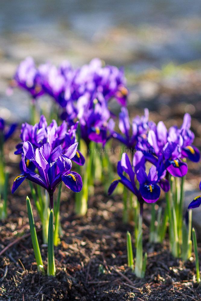 Foto: Netzblatt-Schwertlilie (botanisch: Iris reticulata)