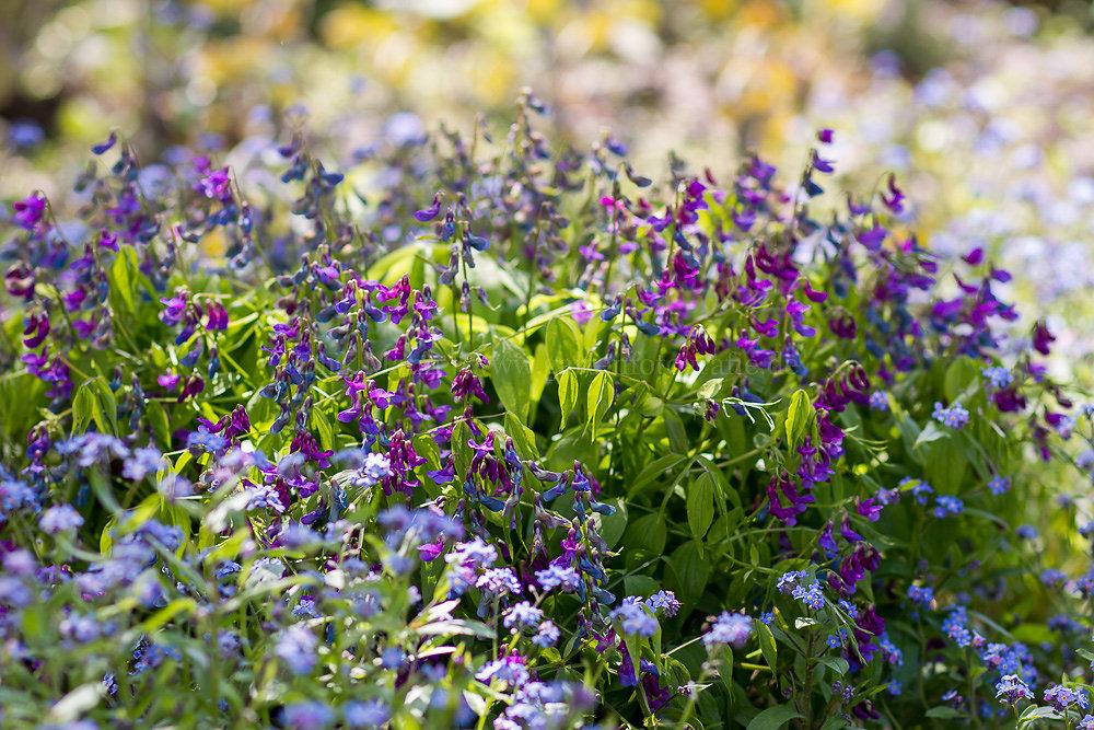 Foto: Frühlings-Platterbse (botanisch: Lathyrus vernus)