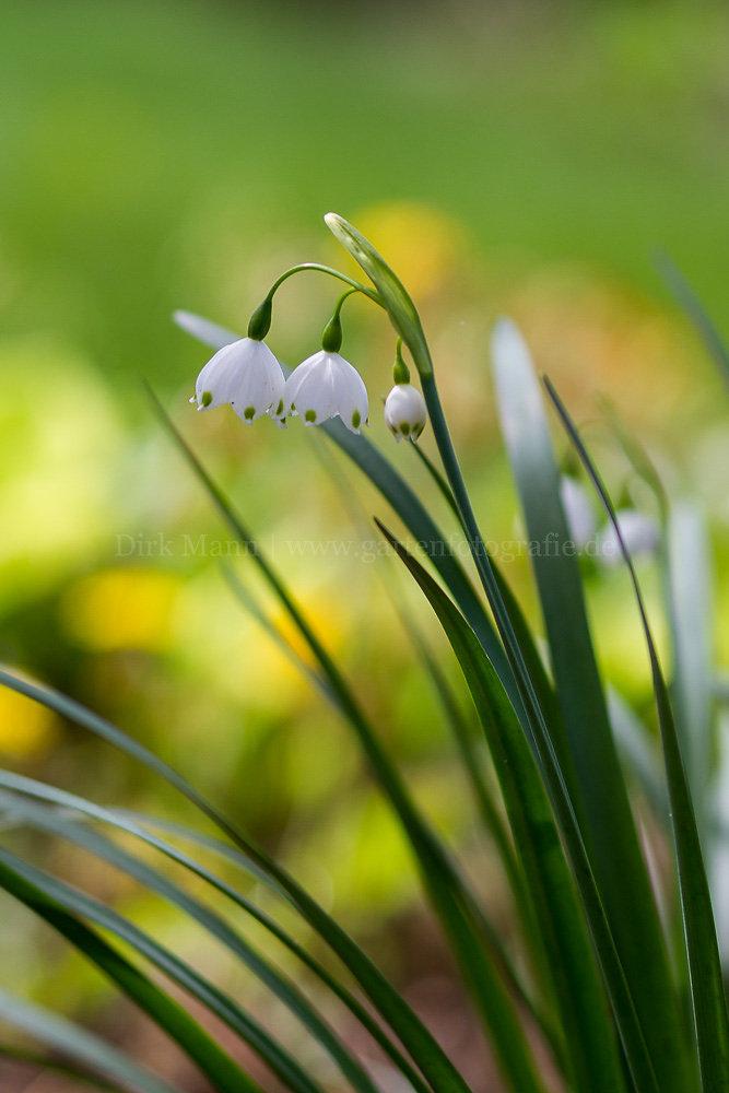 Foto: Sommer-Knotenblume (botanisch: Leucojum aestivum)