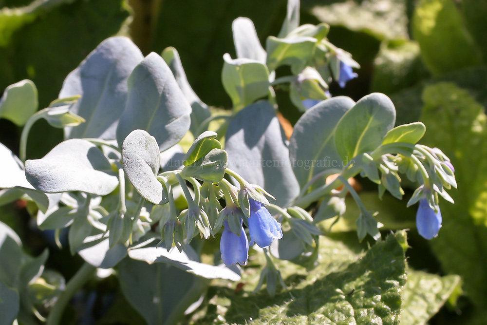 Foto: Austernpflanze (botanisch: Mertensia maritima)