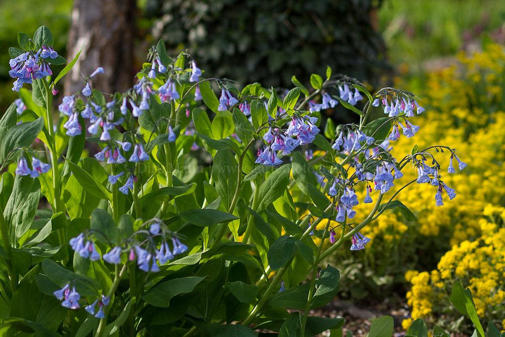 Foto: Virginia-Blauglöckchen (botanisch: Mertensia virginica)