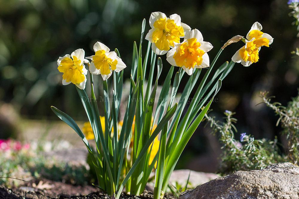 Foto: Narzisse (botanisch: Narcissus)