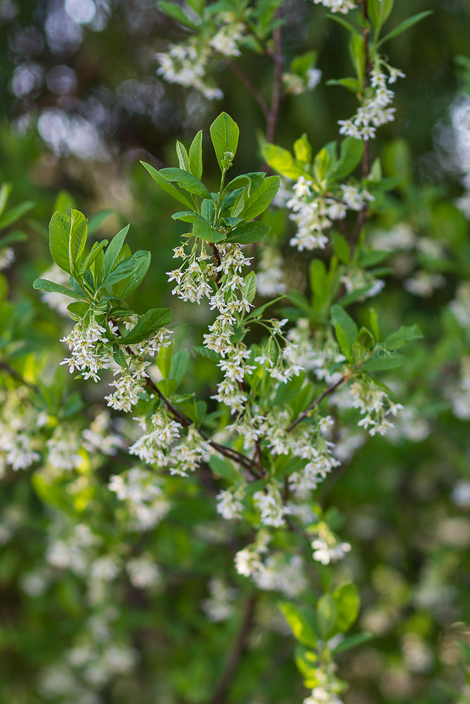 Foto: Oregonpflaume (botanisch: Oemleria cerasiformis)