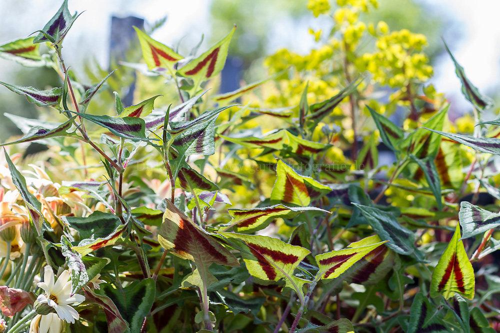 Foto: Knöterich (botanisch: Persicaria runcinata 'Purple Fantasy')