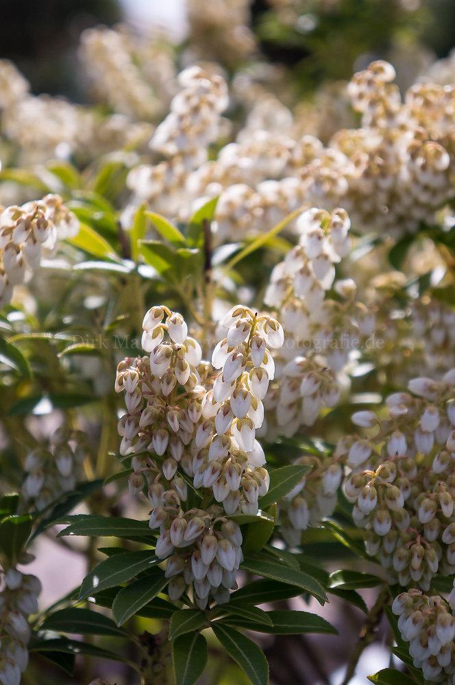 Foto: Japanische Lavendelheide (botanisch: Pieris japonica)