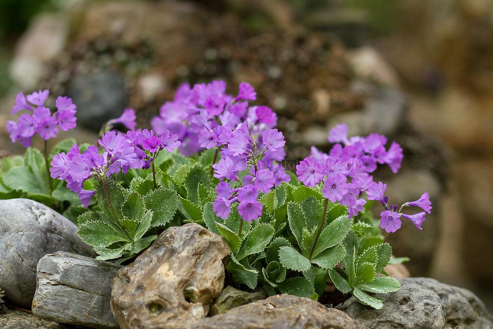 Foto: Seealpen-Primel (botanisch: Primula marginata)